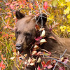 Black Bear Eating Wild Berries