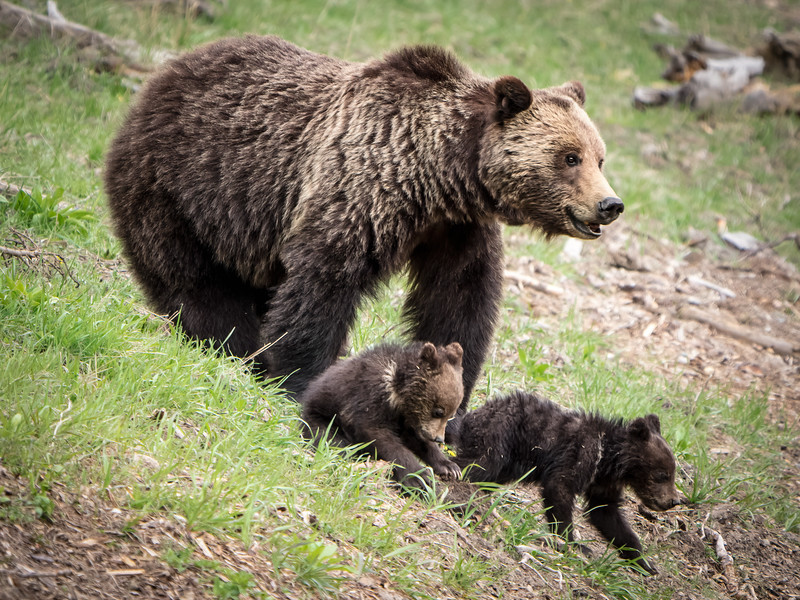 Grizzly Bear Sow With Her Two Cubs in Yellowstone