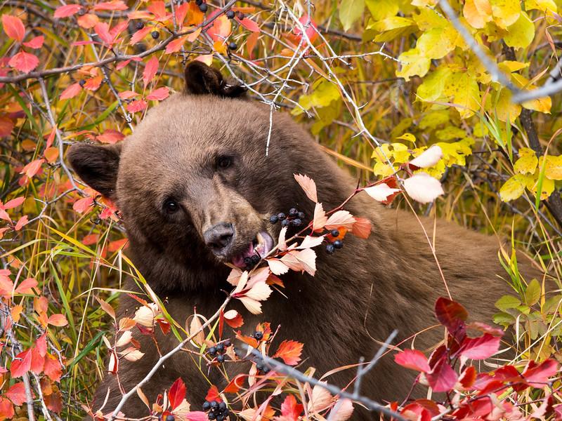 Black Bear Eating Wild Berries