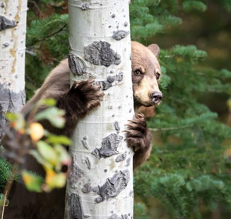 Black Bear Peeking Around Aspen Tree