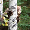 Black Bear Peeking Around Aspen Tree