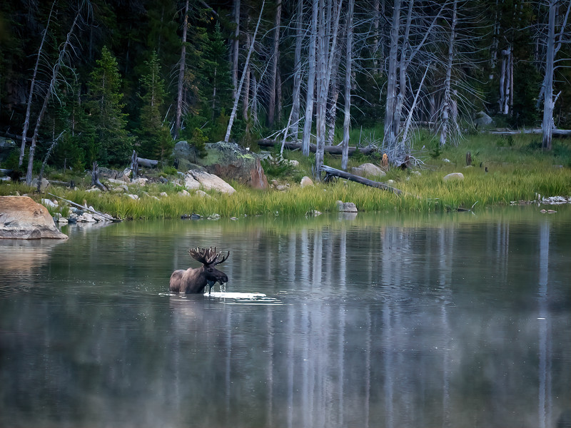 Bull Moose in Colorado Lake