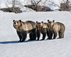 Grizzly Bear Sow Blondie with her Cubs