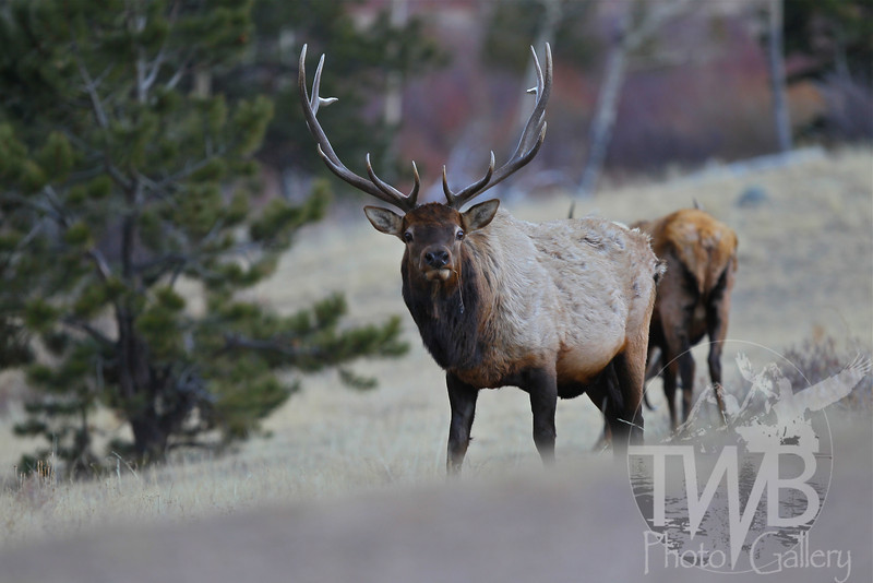 a bull Elk, grazing the grasses in Rocky Mountain N.P.