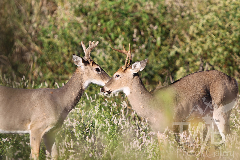 """"""" Brothers""""  , two deer in Clarence Canon W.L.R."""