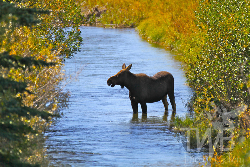 """"""" the spa"""" cow moose enjoying overflow from the snake river, Grand Teton"""