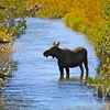""" the spa"" cow moose enjoying overflow from the snake river, Grand Teton"