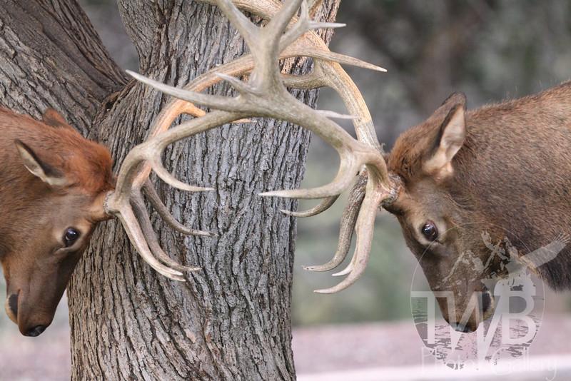 dualing Elks , testing themselves, Grand Canyon N.P.