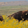 Bison in Rocky Mountain Arsenal National Wildlife Refuge