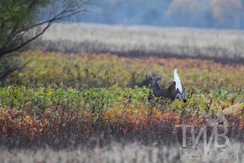 a white -tail buck making a quick escape