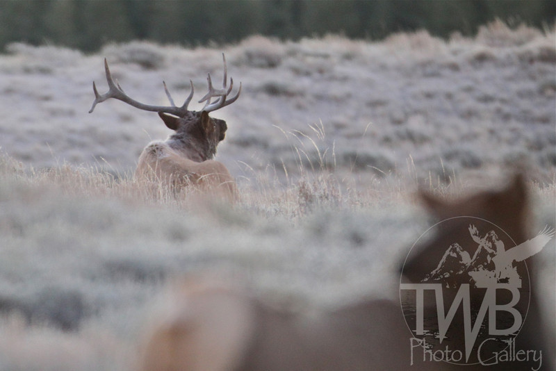 """a frosty bugler"" bull elk Yellowstone"