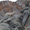 a Long Horn Sheep along it's own rocky highway, Glacier N.P.
