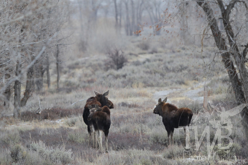 a mother and her young, three Moose moving through , just north of Jackson, Wyoming