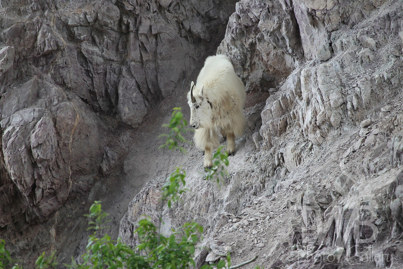no mountain high enough or steep enough, to stop this Mountain Goat