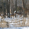white-tail deer leap through the snow cover