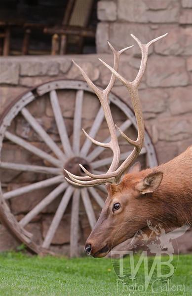 a Grand Canyon grazing Elk