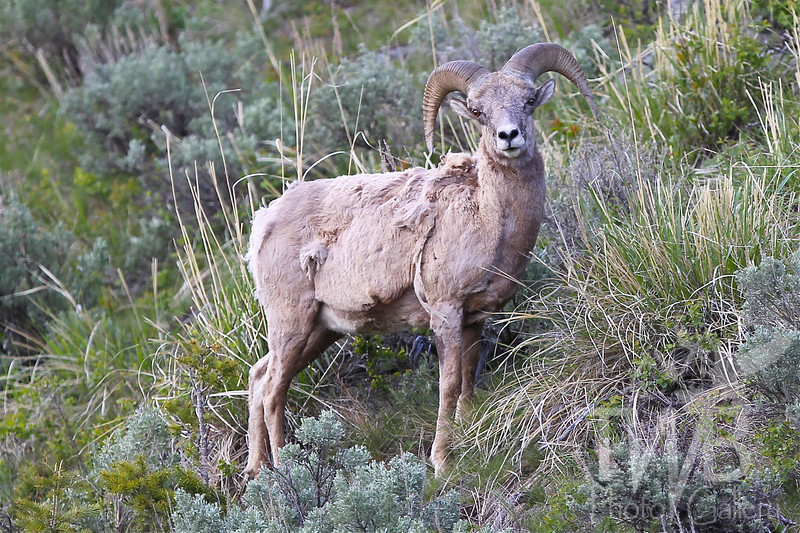 forced to lower elevations, a large ram grazes on the hillsides, near Tower junction , Yellowstone