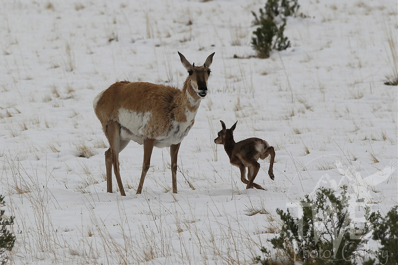"""a proud mom """"smiling"""" Pronghorn antelope romp in the spring snow near Gardiner, Montana"""