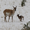 "a proud mom ""smiling"" Pronghorn antelope romp in the spring snow near Gardiner, Montana"