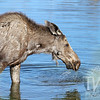 an old female moose enjoys the beaver ponds by Moose-Wilson Rd, Jackson ,Wyoming