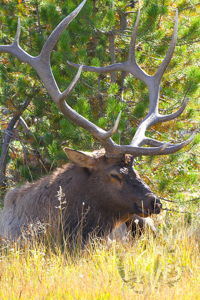 """""""a regal Rack"""" bull elk, north of the Thermals of Yellowstone"""