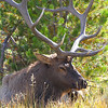 """a regal Rack"" bull elk, north of the Thermals of Yellowstone"