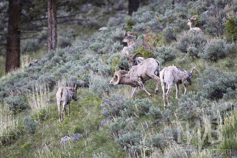 keeping order large ram, long horn sheep, lays down the rules, Yellowstone