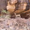 a mule deer, walking the lower rim, Grand Canyon