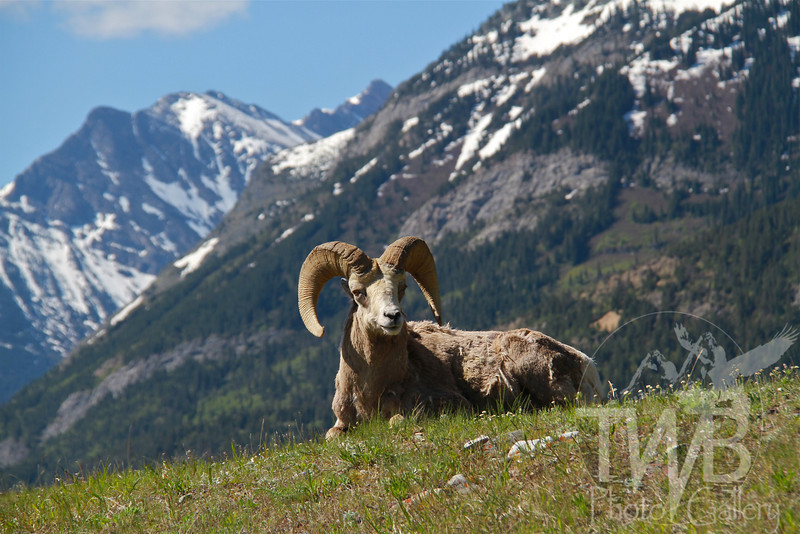 a big ram with the scenic backdrop in Waterton N.P., Canada
