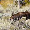 a young moose, enjoying a warm fall afternoon, Grand Teton N.P.