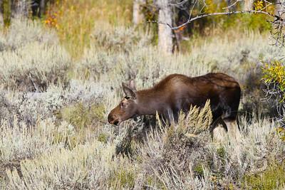 Moose, Elk, Long Horn Sheep& Deer                        & Deer