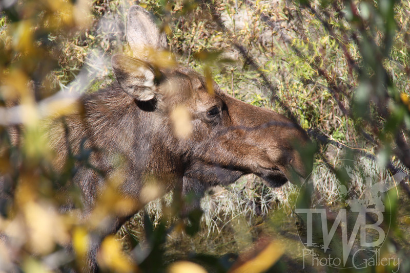 a female Moose, in Wyoming