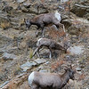 A Big Horn Sheep family enjoying the canyon walls, east of Estes Park, Colorado