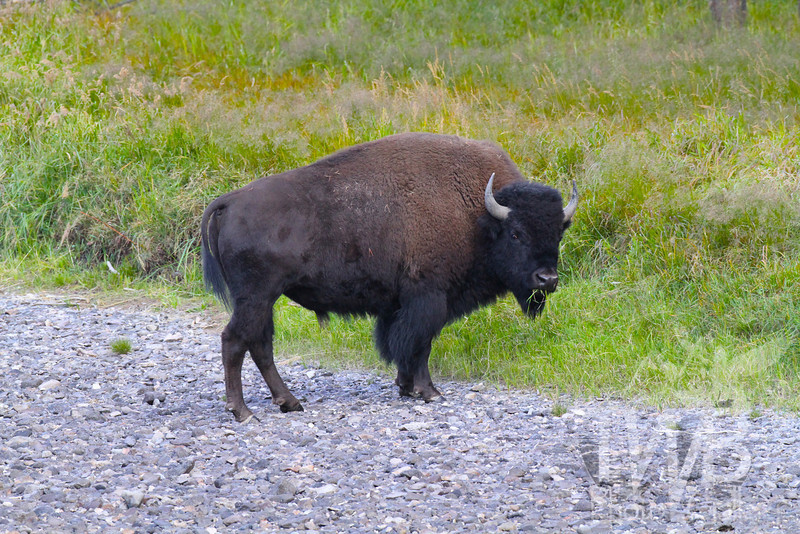a Bison out grazing