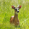 a blind buck in Queeny Park