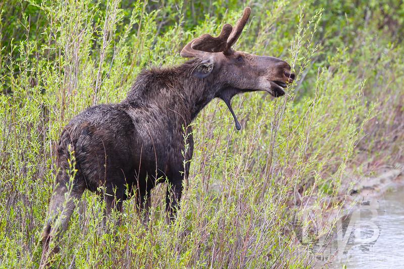 a male Moose , Moose Junction , Jackson , Wyoming