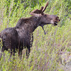 a male Moose , Moose Junction , Jackson , Wyoming