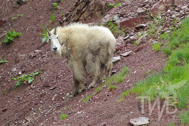 who's watching who? a Mountain Goat at Goat Lick, Glacier N.P.