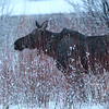 a female Moose in the reeds , just south of the Moran Junction, Grand Teton N.P.
