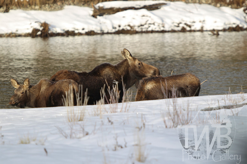 a mother Moose and her young, riverside , early December in the Tetons