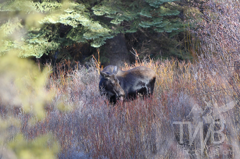 a female moose grazing in the marshes near Gore Creek, Vail, Colorado