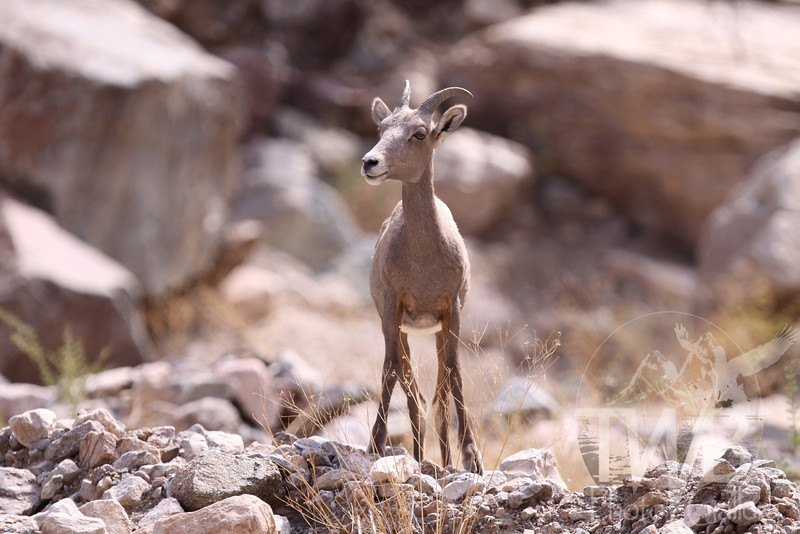 young and waiting for mom, a long horn sheep, in the Grand Canyon
