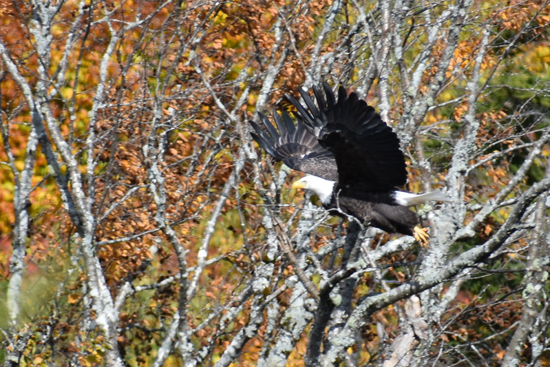 A bald eagle that had been surveying the remains of a harvested moose takes flight from a tree last week in Somerset County. BDN Outdoors Editor John Holyoke and his party had a successful 2017 moose hunt. (Pete Warner | BDN)