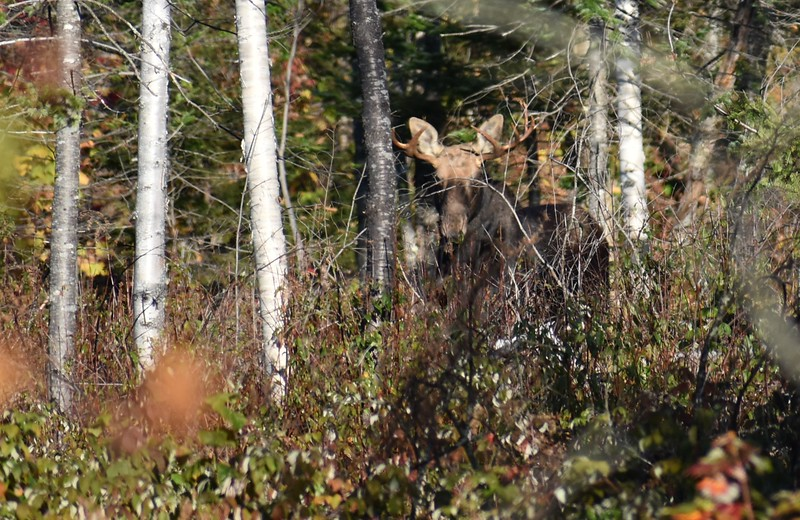 A bull moose peers out of a cut from amidst some trees toward the hunting part of BDN Outdoors Editor John Holyoke during the 2017 moose hunt in Somerset County last week. (Pete Warner | BDN)