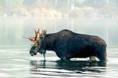 Moose Maine