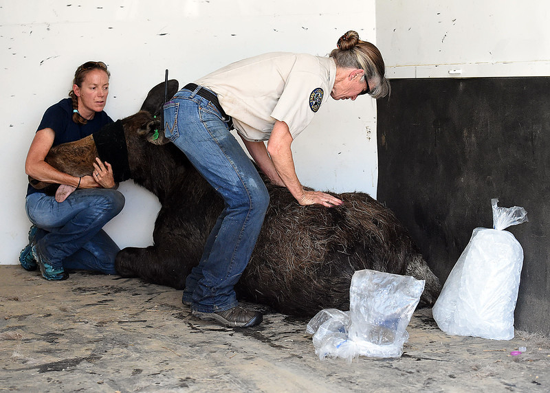 Colorado Parks and Wildlife wildlife technician Shari Green, left, and  wildlife veterinaian Lisa Wolfe help a young moose and surround it with ice after it was tranquilized and loaded it into a trailer Monday, June 5, 2018, in northwest Loveland. They darted two young moose so they could relocate them to another area away from people.  (Photo by Jenny Sparks/Loveland Reporter-Herald)