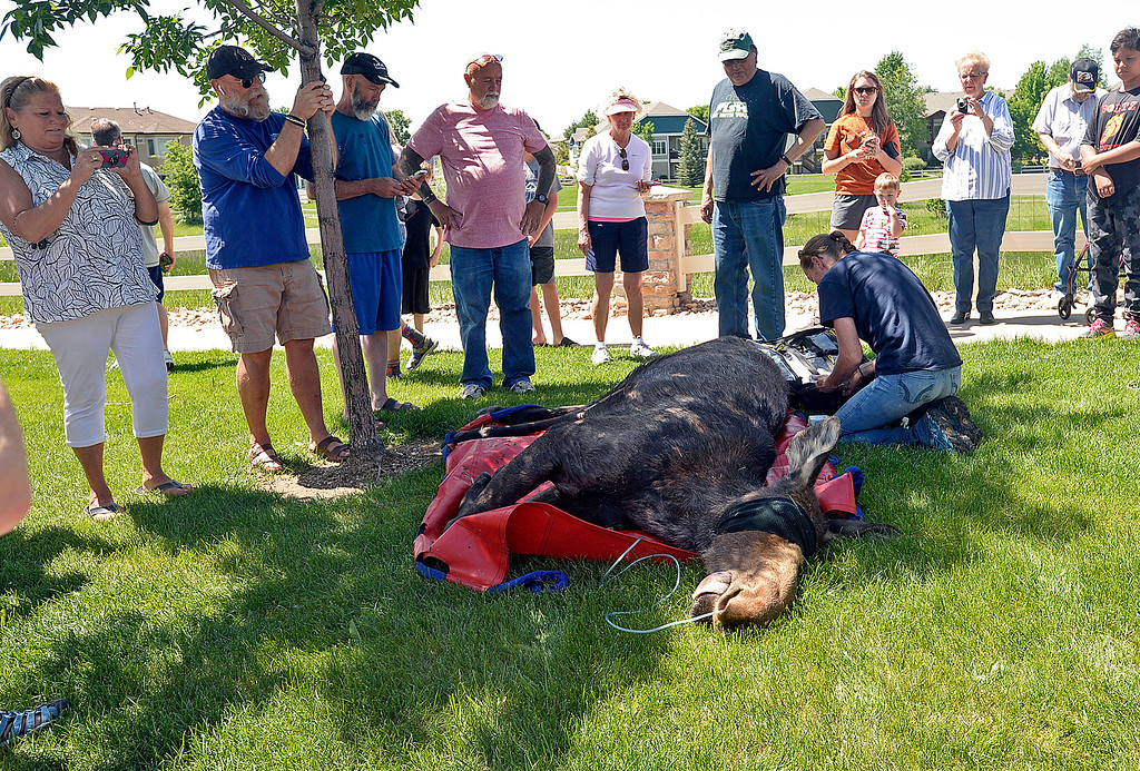 . Alford Meadows residents watch as Colorado Parks and Wildlife\'s wildlife technician Shari Green helps a young moose after they tranquilized it Monday, June 5, 2018, in the northwest Loveland neighborhood. They darted two young moose so they could relocate them to another area away from people.  (Photo by Jenny Sparks/Loveland Reporter-Herald)