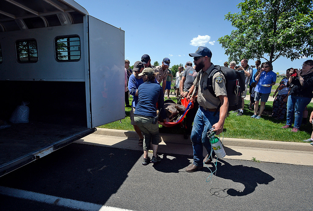 . Mark Fisher, right, and Jenny Dalton, left, both with Colorado Parks and Wildlife, help carry a young moose to a trailer after it was tranquilized Monday, June 5, 2018, in the Alford Meadows neighborhood in Loveland. They darted two young moose so they could relocate them to another area away from people.  (Photo by Jenny Sparks/Loveland Reporter-Herald)