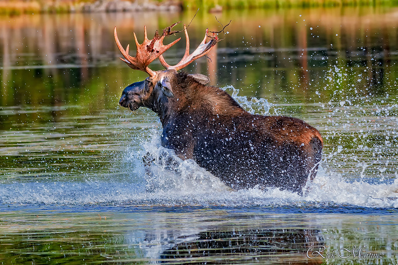 Moose of Rocky Mountain National Park