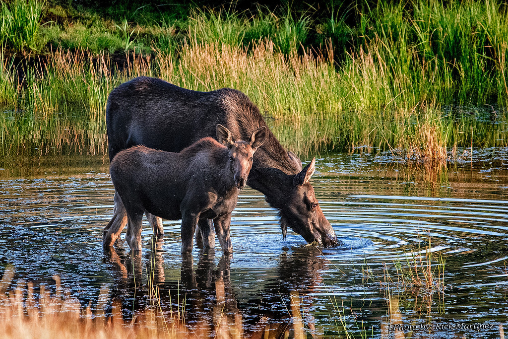 . Moose of Rocky Mountain National Park  Photo by Rick Martinez